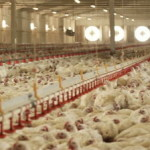 stock-footage--shots-at-the-poultry-farm